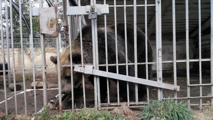 ВЧайковском грозятся уничтожить медведицу, если ееникто некупит довесны